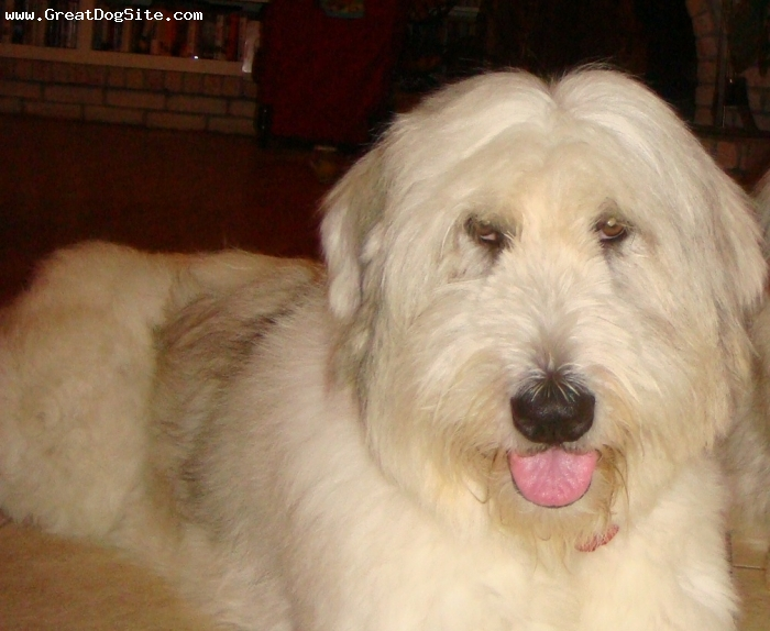 Mioritic Sheepdog, 3, white, She weighs 85 lbs, she is a very loyal and very good friend.