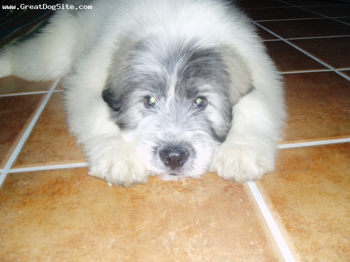 Mioritic Sheepdog, 4 months, white with grey spots, she is so cute! she got to spain from romania 1 month ago.