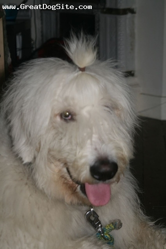 Mioritic Sheepdog, 8 months, White, her hair is too long