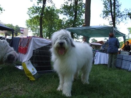 Mioritic Sheepdog, 9 MONTHS, white grey, EXCELLENT AND PLAYFUL FRIEND