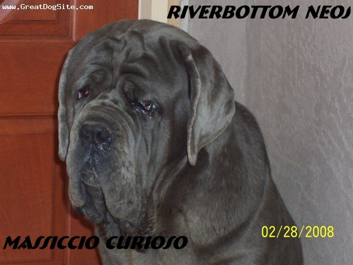 Neapolitan Mastiff, 11 months, Blue, Looking Good