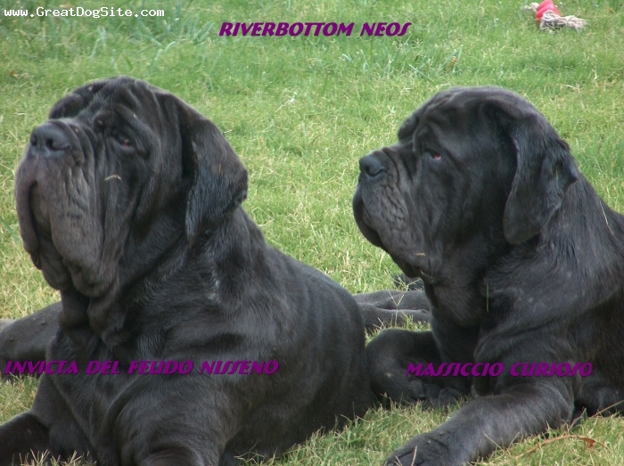Neapolitan Mastiff, 15 months, Blue, Nice Pose for the Camera