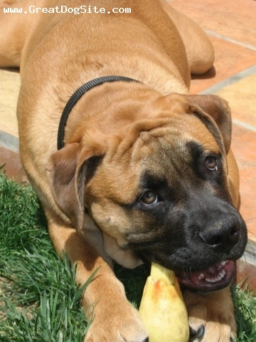 Nebolish Mastiff, 8mos, Fawn, Frankie is great intelligent, no slobber loves his home in Calif.
