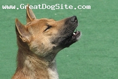 New Guinea Singing Dog, 1 year, Brown, Singing!