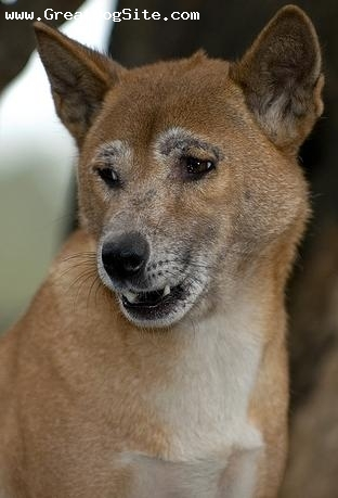 New Guinea Singing Dog, 1 year, Brown, Another song