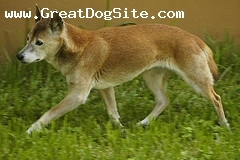 New Guinea Singing Dog, 1 year, Brown, Walking around