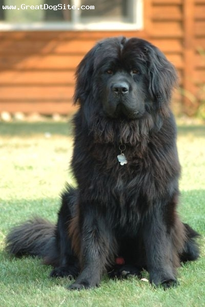Newfoundland, 1 year, Black, Hes protecting my house