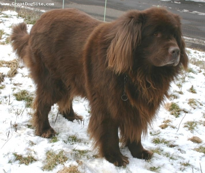 Newfoundland, 1 year, Brown, My favorit newfy. I love her so much