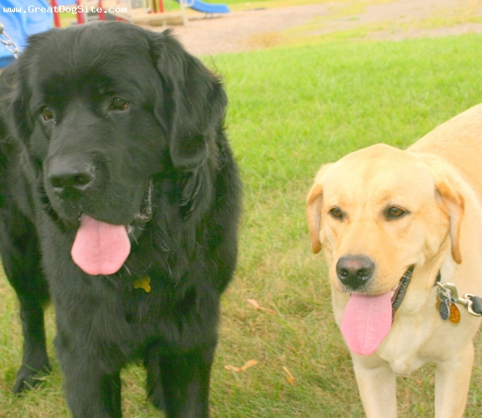 Newfoundland, 2, black, My baby with his buddy from next door (85 pound lab)