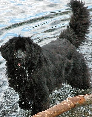 Newfoundland, 3 years, Black, my newfoundland loves water