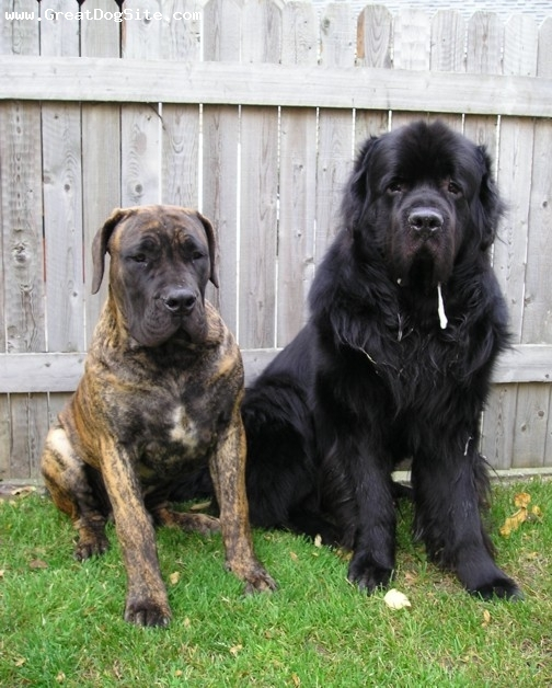 Newfoundland, 4 Years Old, Black, Emmett is obviously the Newfoundland, and his sidekick is Brembo the South African Boerboel.  You can see more of the South African Boerboel at out website.