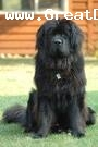 Newfoundland, 9, black, he is a black newfoundland named coco very friendly super nice and sooo cute