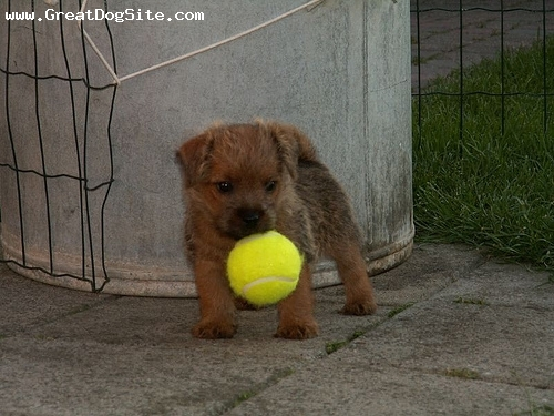 Norfolk Terrier, 2 months, Brown, With her ball