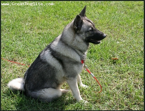 Norwegian Elkhound, 1.5 years, Gray, Side shot