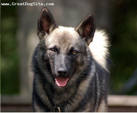 Norwegian Elkhound, 3 years, Brown, grrrrr