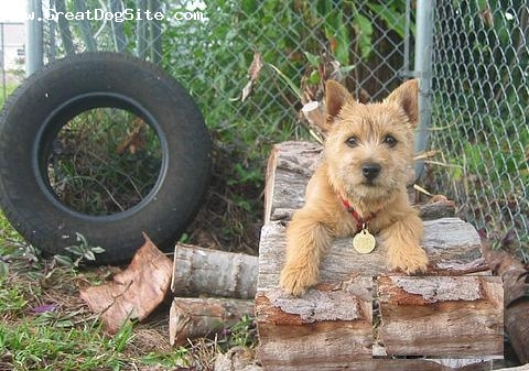 Norwich Terrier, 1 year, Brown, Photo opt