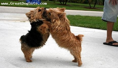 Norwich Terrier, 1 year, Brown, he's the one on the right