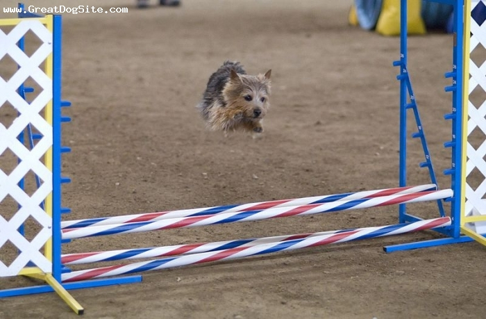 Norwich Terrier, 1.5 years, Brown, showing her jumping skills