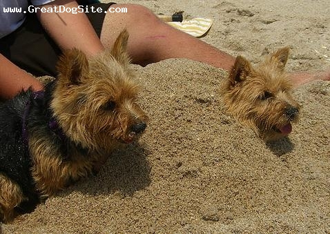 Norwich Terrier, 1.5 years, Brown, buried in sand