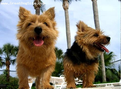 Norwich Terrier, 1.5 years, Brown, palm springs