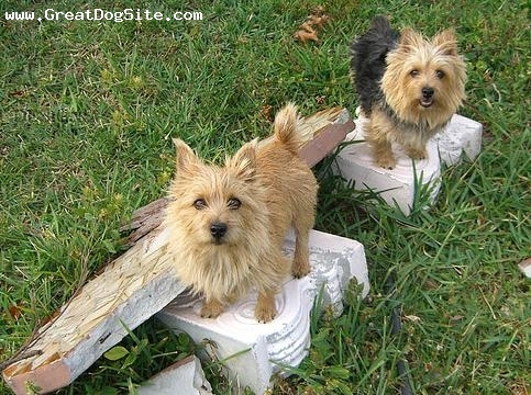 Norwich Terrier, 1.5 years, Brown, grass photo op