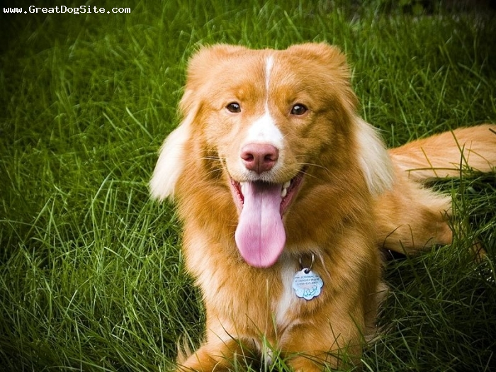 Nova Scotia Duck Tolling Retriever, 1 year, Gold, Laying down