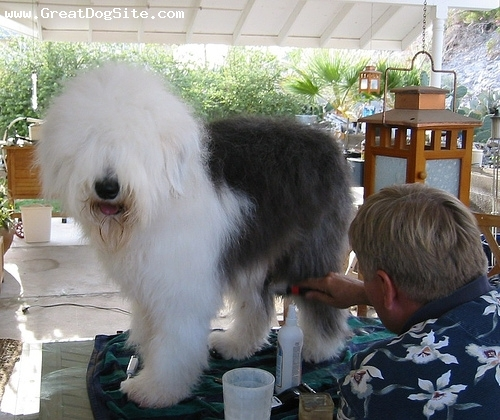 Old English Sheepdog, 1 year, Black and White, getting his monthly haircut