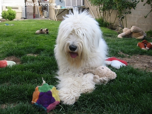 Old English Sheepdog, 1 year, Gray and White, laying down