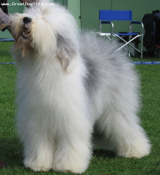 Old English Sheepdog, 1 year, Gray and White, brushed out