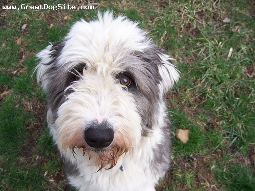 Old English Sheepdog, 1.5 years, Black and White, very pretty