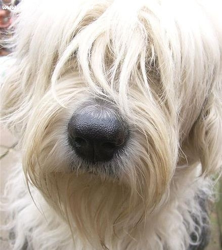 Old English Sheepdog, 2 years, Black and White, forehead beard