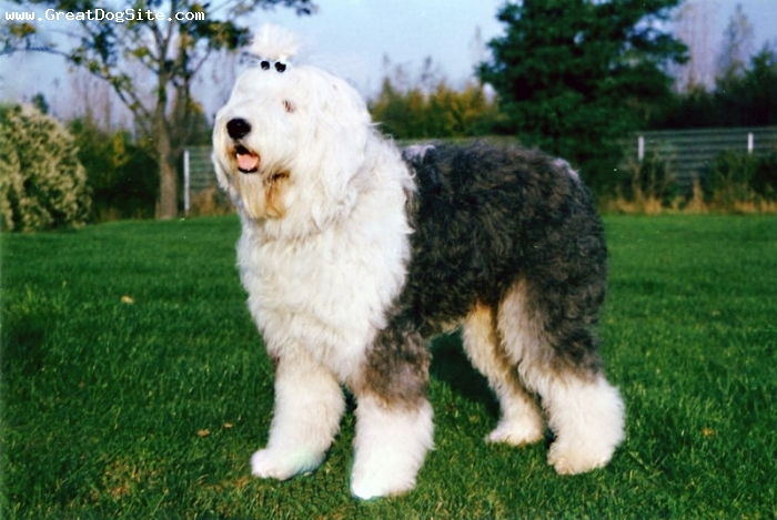 Old English Sheepdog, 2 years, Gray and White, shorter hair