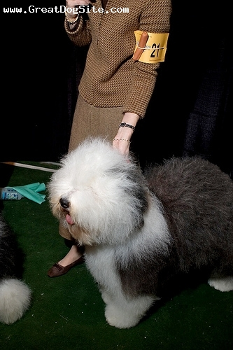 Old English Sheepdog, 9 months, Black and White, at a dog show