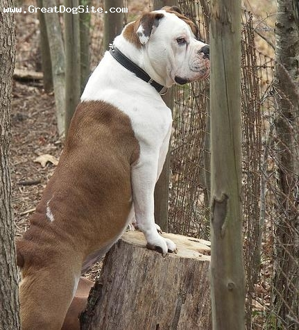 Olde English Bulldogge, 1 year, Brown and White, Posted up