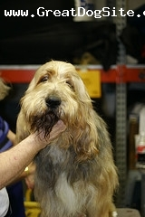 Otterhound, 2 years, Brown, at a show