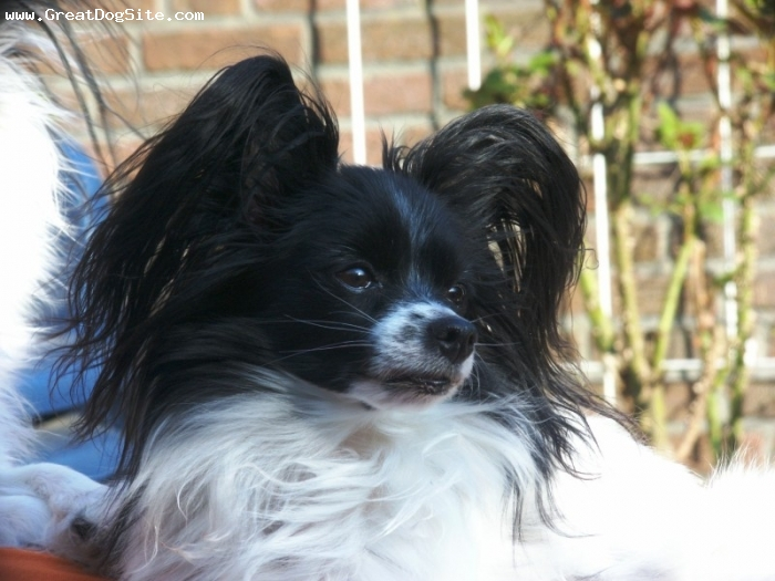 Papillon, 1 year, Black, great face