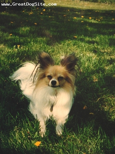 Papillon, 1 year, brown, older photo