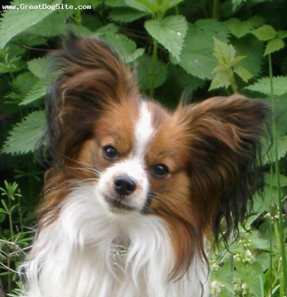 Papillon, 1.5 year, Brown, close up on my papillion