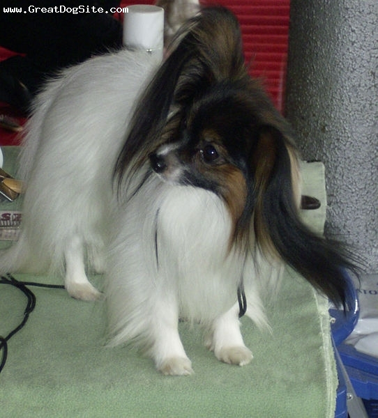 Papillon, 2 years, Tri color, long haird papillon