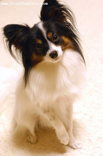 Papillon, 2 years, Tri color, posing for my photo