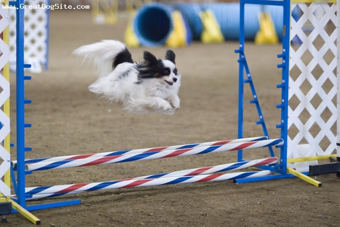 Papillon, 2 years, Tri color, jumping at a dog show