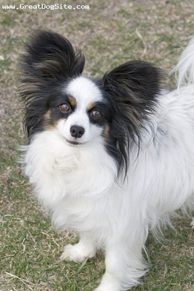 Papillon, 2 years, Tri color, looking cute