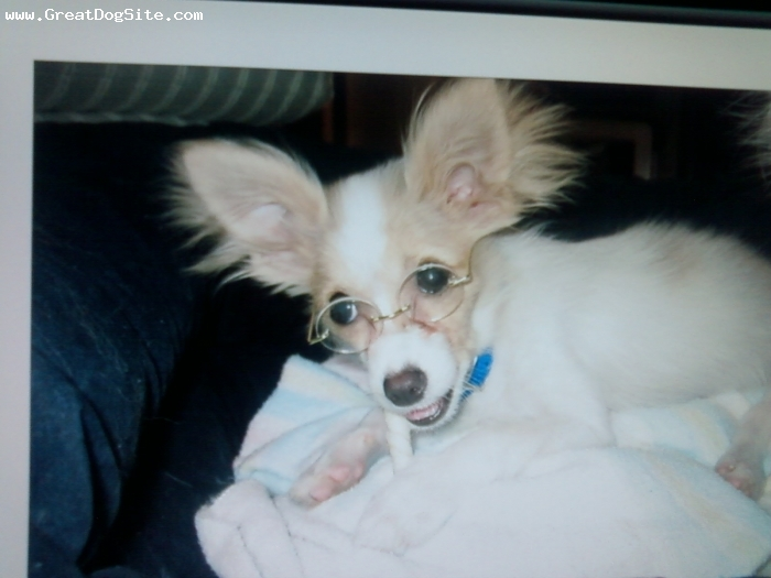 Papillon, 7 months, lemon, Cody chewing on his bone with his glasses on.