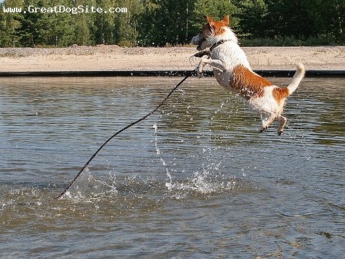 Parson Russell Terrier, 2 year, Brown and White, jumping off the dock