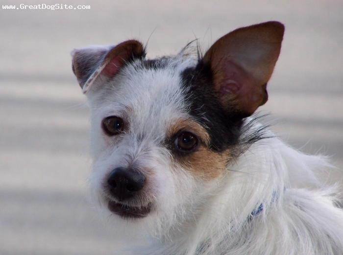Parson Russell Terrier, 2 years 3 months, Mulit, A pound puppy with a shakey start, Joey now thrives and runs our household