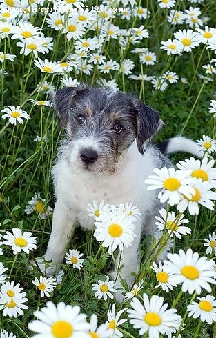 Parson Russell Terrier, 4 months, brown and white, in some flowers