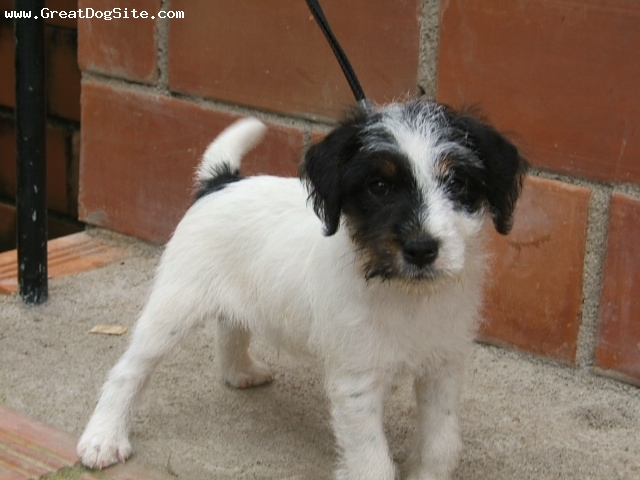 Parson Russell Terrier, 4 weeks, tri color, Son of Amazonaz Kissmi and Pratsals Tribute to Jude