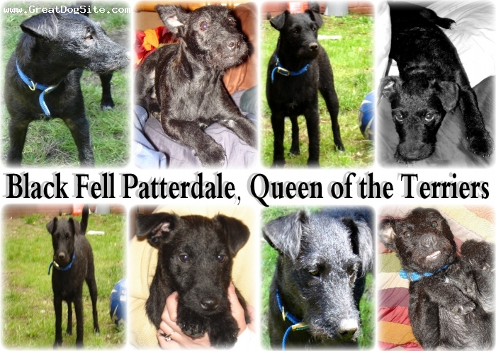 Patterdale Terrier, 10 months, black, Black Fell patterdale terrier_Queen of the hunt..