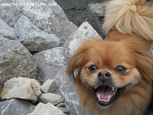 Pekingese, 1 year, Brown, shes all smiles