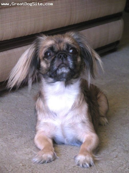 Pekingese, 10 months, Tri Color, hey girl